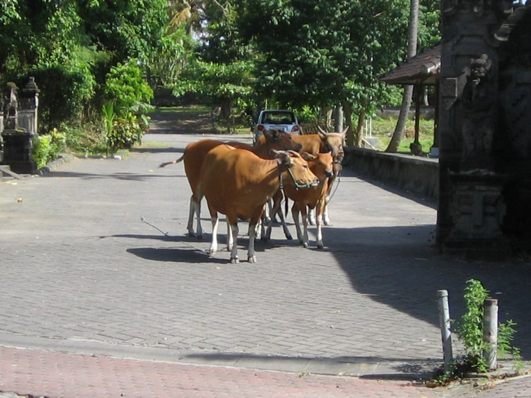 cows-near